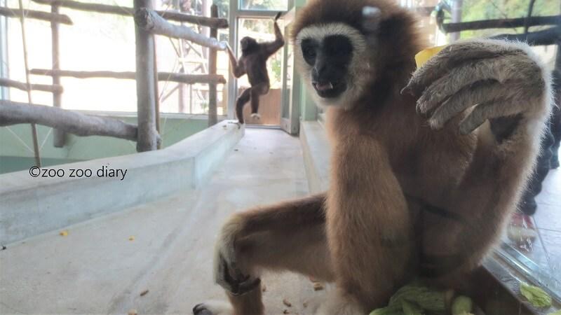 福岡市動物園 テナガザル キナコ