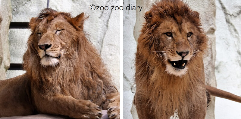 福岡市動物園 ライオン チャチャ丸