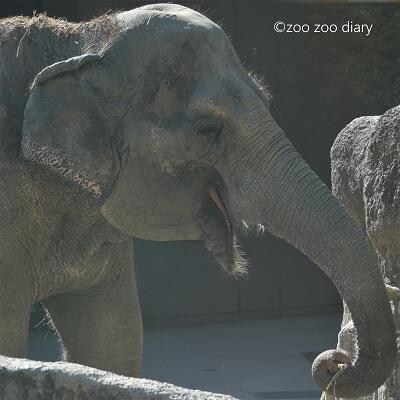 福岡市動物園 アジアゾウ はな子