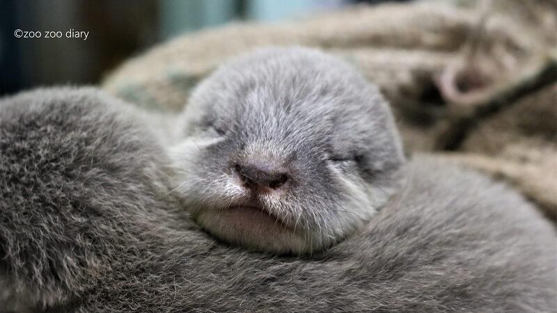 福岡市動物園 コツメカワウソの赤ちゃん