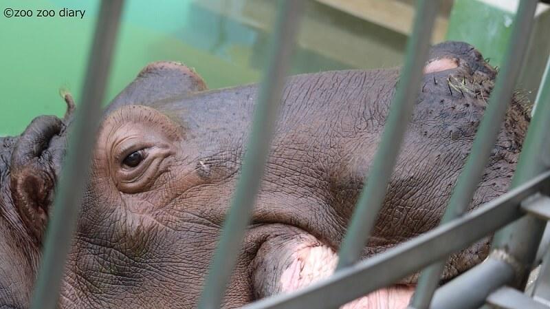 福岡市動物園 カバ タロー