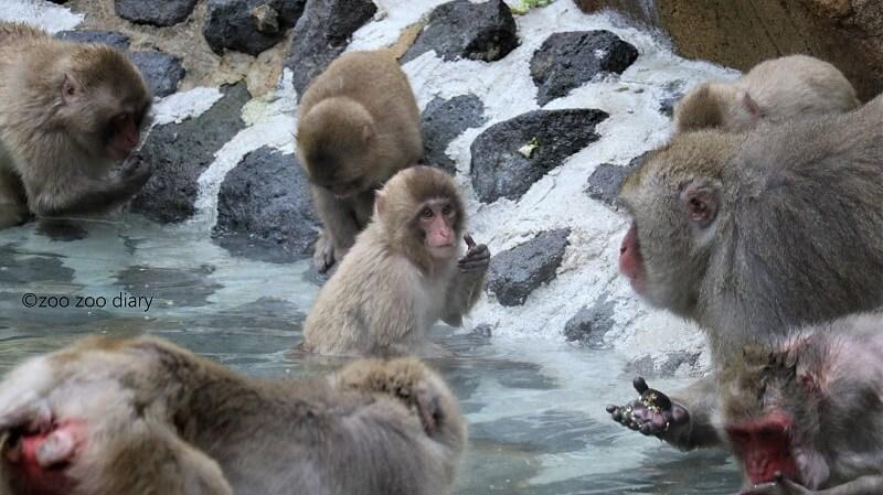 福岡市動物園 サル山 ニホンザル