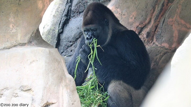 千葉市動物公園 ゴリラ モンタ