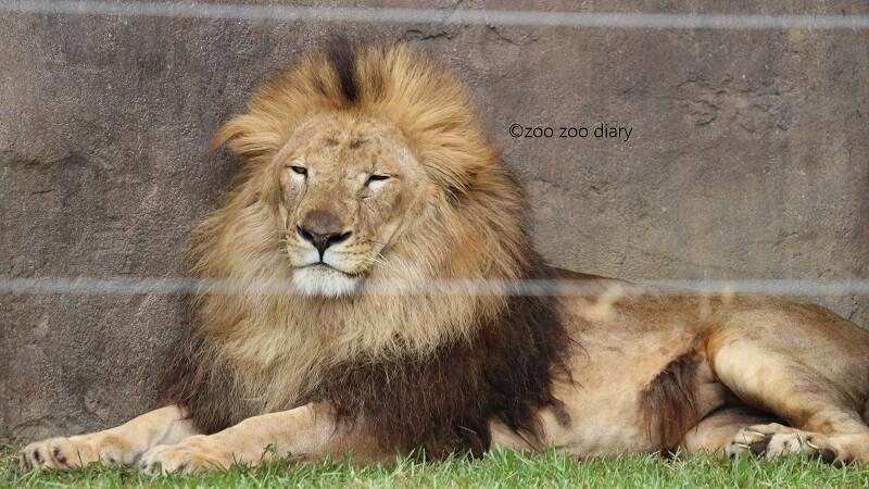 千葉市動物公園 ライオンのトウヤ