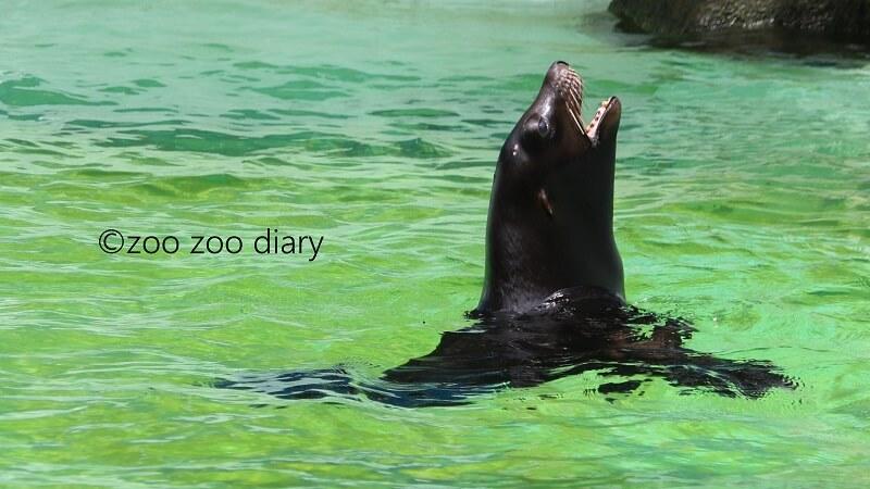 千葉市動物公園 カリフォルニアアシカ
