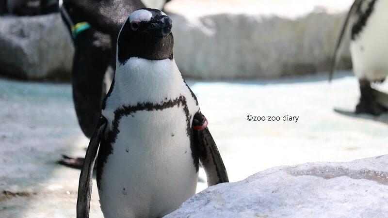 千葉市動物公園 アフリカペンギン