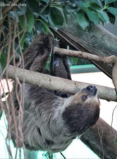 千葉市動物公園 ナマケモノの親子