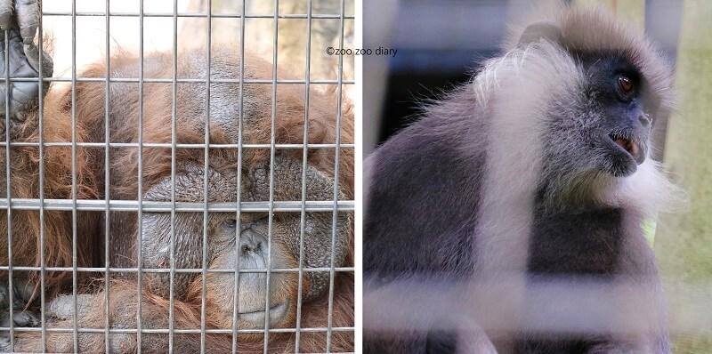 千葉市動物公園 オランウータン ラングール