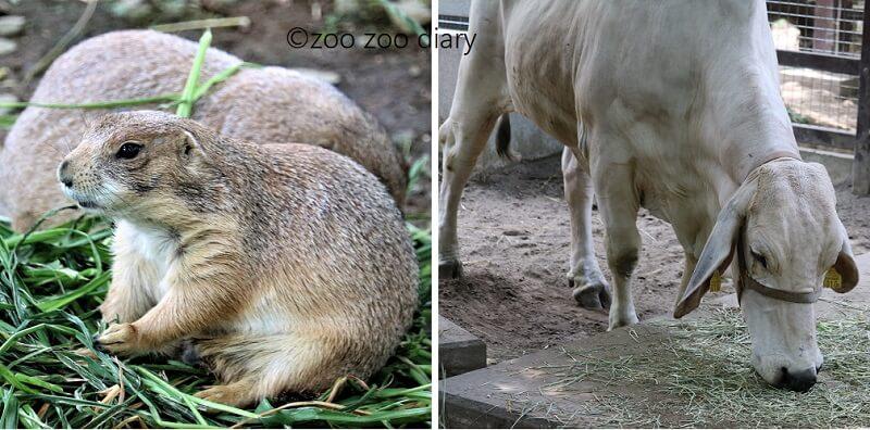 千葉市動物公園 プレーリードッグ アメリカンブラーマン