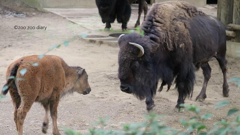 千葉市動物公園 アメリカバイソン
