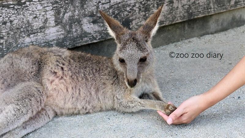 ひびき動物ワールド カンガルー