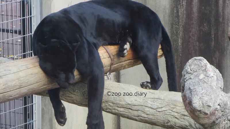 神戸市立王子動物園 クロジャガー