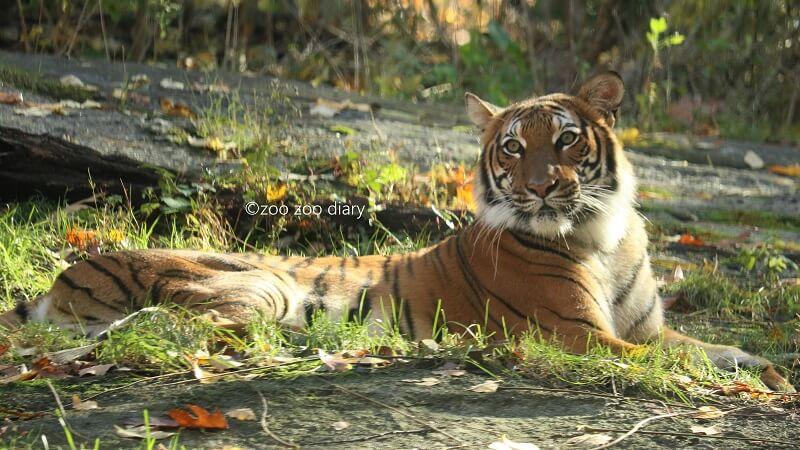 ブロンクス動物園 マレートラ