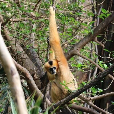 ブロンクス動物園 ホオジロテナガザル