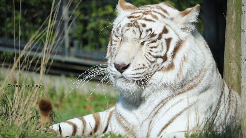 平川動物公園 ホワイトタイガー