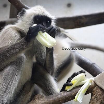ときわ動物園 ハヌマンラングール